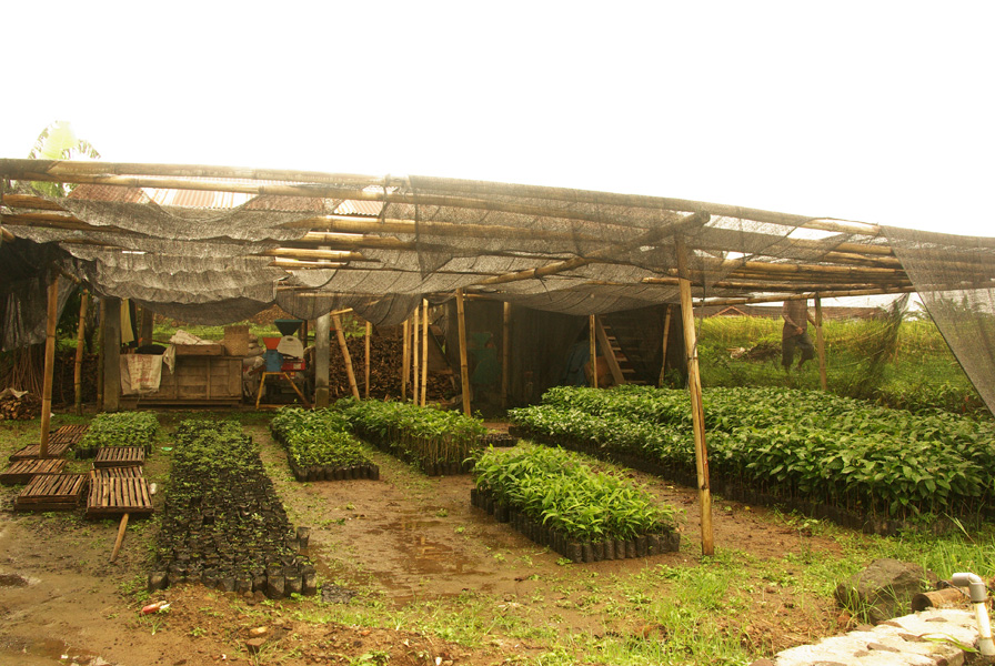 Coffee nursery