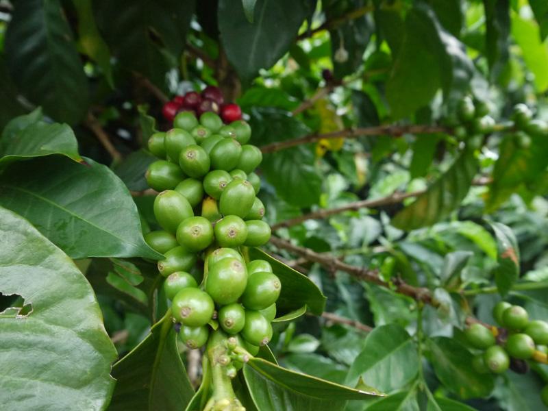 Kaffeekirsche grün