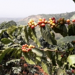 Kaffeereise Uganda